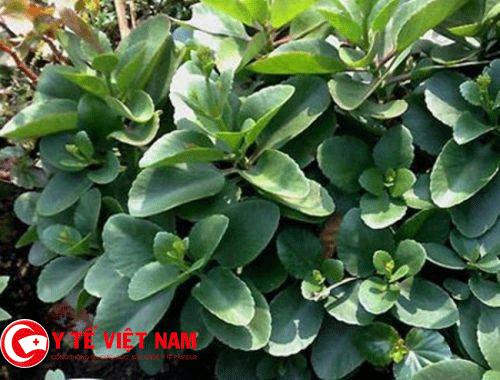 Tác dụng chữa bệnh bất ngờ của cây lá bỏng - cây thuốc quanh ta