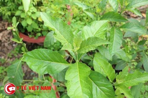 Tại sao cây lá đắng được ví như thần dược trị bệnh