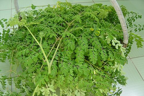 Giá trị dinh dưỡng của cây chùm ngây và khả năng chữa bệnh hiệu quả