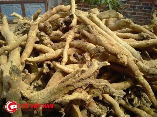 Những tác dụng rễ cây mật gấu đối với sức khỏe
